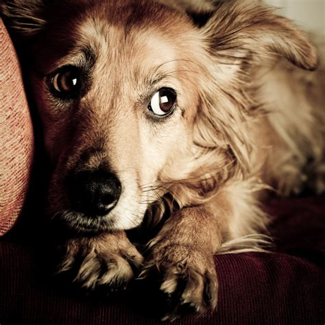 signs of anxiety in dogs how to spot signs of anxiety in dogs golden retrievers