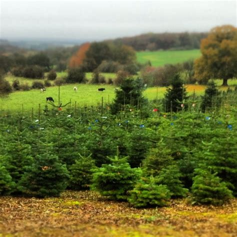 awesome picture of christmas tree farm cincinnati