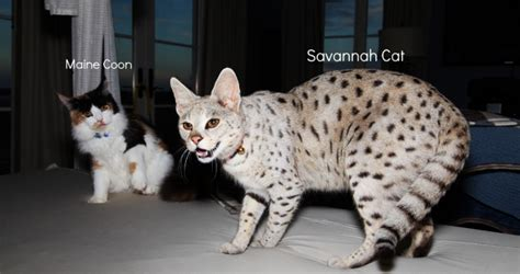 savannah house cat savannahs cats breed standard about colors health size and price