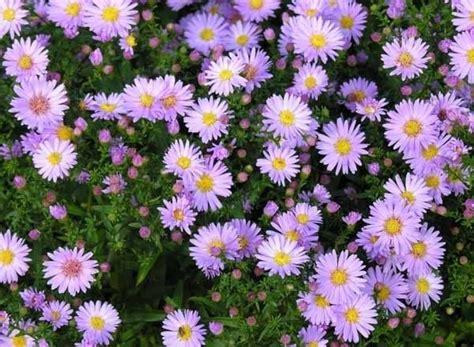 aster fiori fiori per terrazzi piante da terrazzo scegliere i