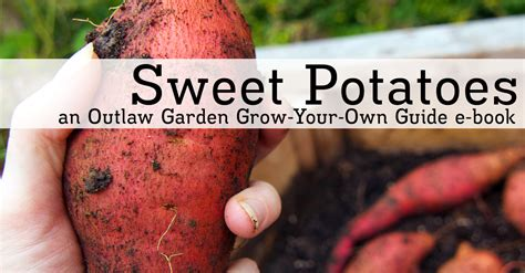 grow your own sweet potatoes outlaw garden sweet potatoes an outlaw garden grow your own guide for