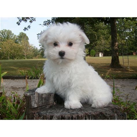 puppies for sale in ohio maltese puppy for sale northeast ohio dogs for