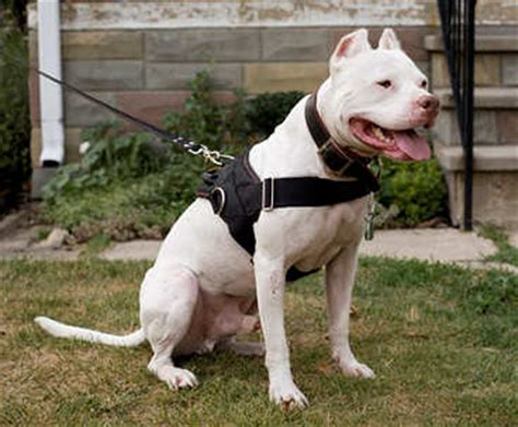 can pitbulls be service dogs order tracking harness gear