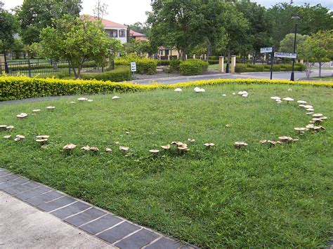 coverlet wiki fairy ring wikipedia
