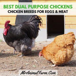 dual purpose chicken breeds chicken breeds  eggs