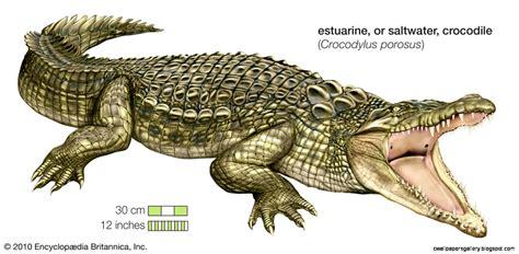 crocodile clipart saltwater crocodile clipart clipground