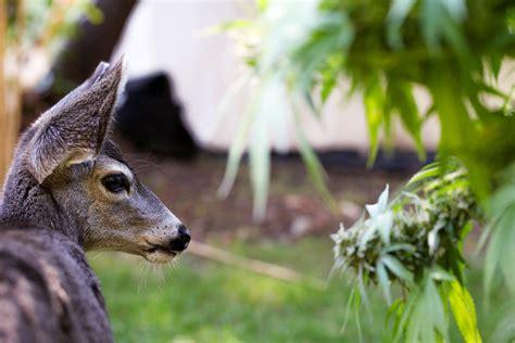 eats marijuana meet sugar bob oregon s pot deer