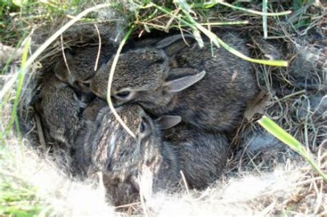 what to do with baby bunnies in backyard what to do if you find a baby rabbit in your yard
