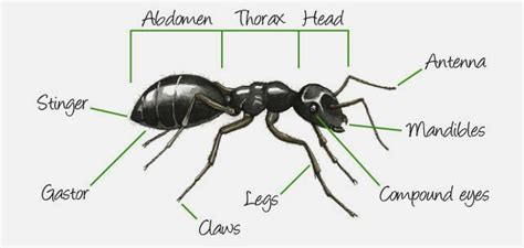 ant diagram free coloring pages of parts of an ant