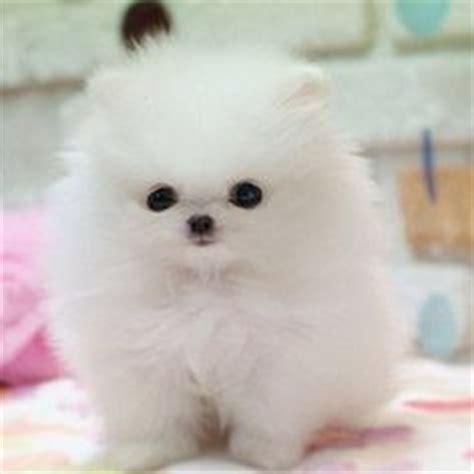 teacup pomeranian vs pomeranian 1000 images about cotton puppies on baby pomeranian teacup