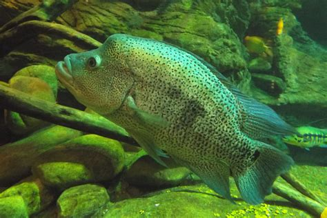 Ikan Louhan Kamfa F2 Vvip what types of cichlids are easy to keep which are