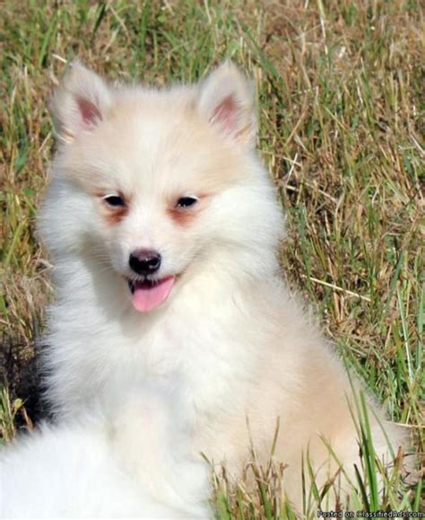 do pomsky dogs shed quotes