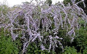 h 228 ngender sommerflieder pflanze buddleja alternifolia