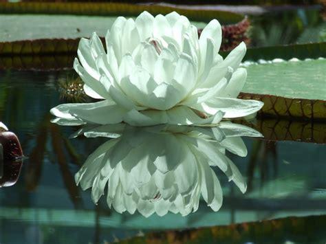 amazon lily plant envy amazon lily ross garden tours