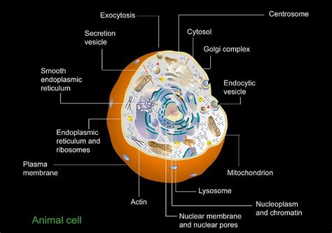 3d animal cell diagram animal cell anatomy diagram photograph by francis leroy