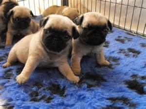 pugs for sale uk cheap miniature pug puppies for sale uk