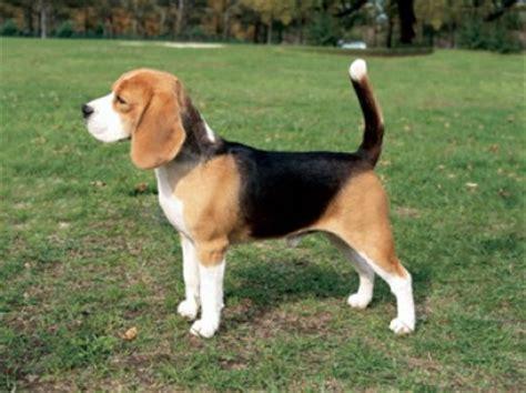 Boneka Anjing Hush Puppies Large perros gatos razas de perros conocidas