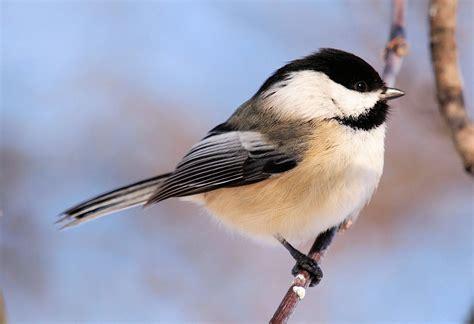 chickadees indiana audubon society