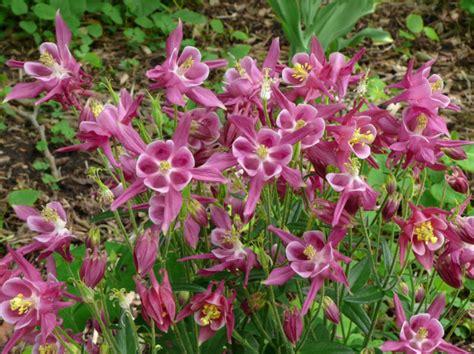 romantic flowers columbine flower