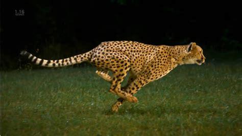 imagenes de animales rapidos el animal m 225 s r 225 pido de la selva medio ambiente