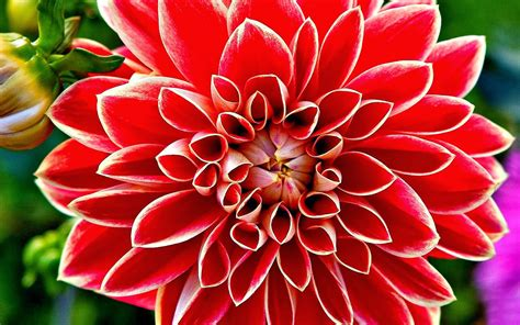 d alilah flow dahlia flowers