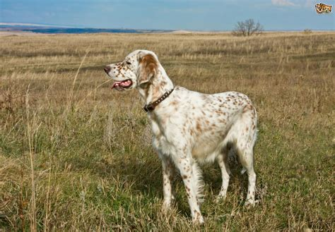 setter dog traits english setter dog breed information buying advice