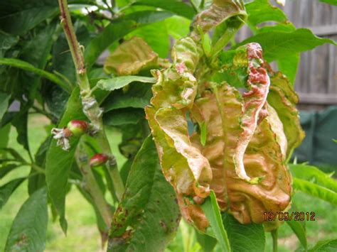 fruit tree leaf curl treatment forum curly leaf