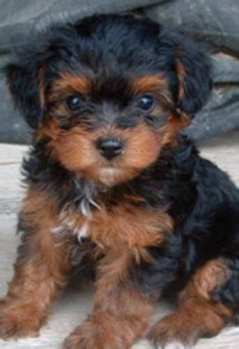 a yorkie poo 25 best ideas about yorkie poo puppies on puppies