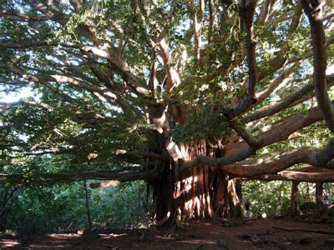 how's that for esoteric!: the bodhi tree