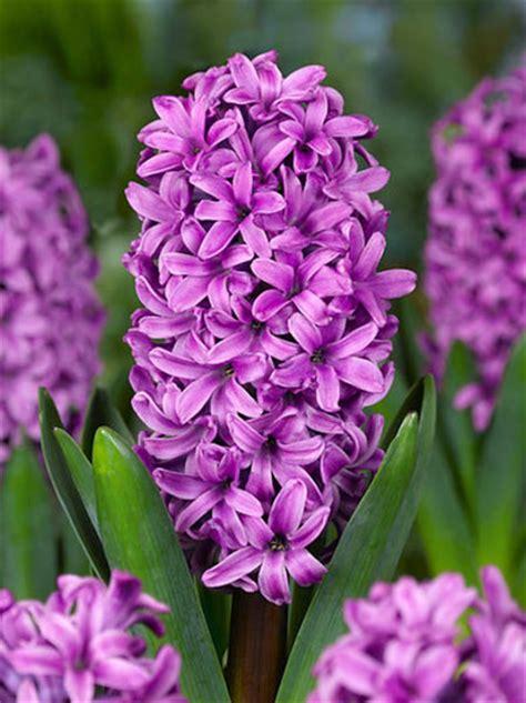 Types Of Garden Flowers - hyacinthus orientalis miss saigon dutch hyacinth
