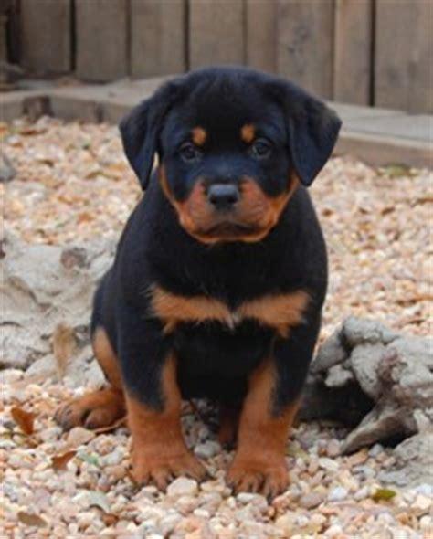 rottweiler puppies 5 weeks pinklady56 shannan deviantart