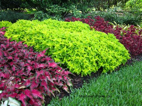 green foliage plants for sun chartreuse plants miss smarty plants