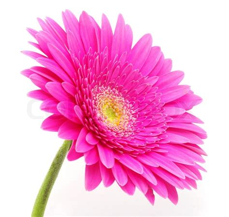 Flowers For Home Decoration by Gerbera Flower Stock Photo Colourbox