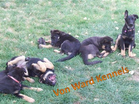 potty german shepherd puppy potty your new german shepherd puppy ward kennelsvon ward kennels