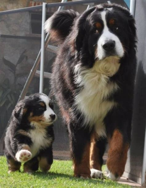 st bernese mountain bernese mountain with puppy bernese mountain dogs bernese mountain and