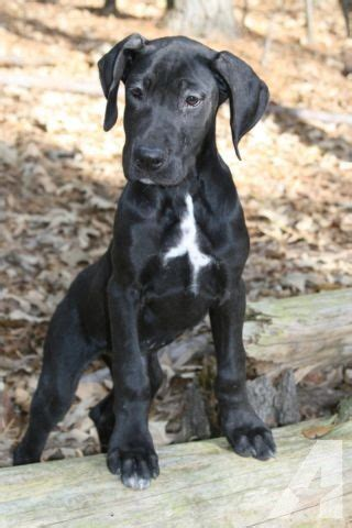 black great dane puppies akc black great dane puppy for sale in huntsville classified