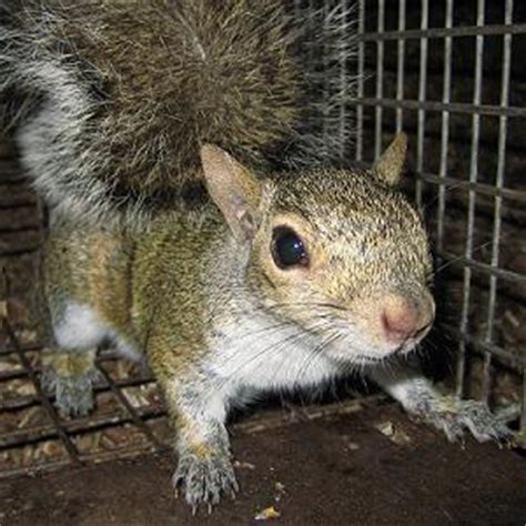 How To Get Rid Of Squirrels In The Backyard by How To Get Rid Of Squirrels In Your Attic