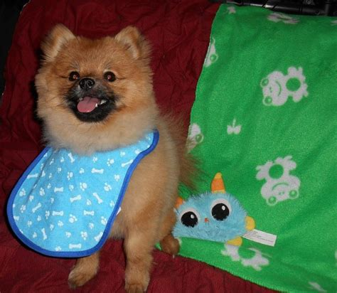 pomeranian wearing clothes 1000 images about pomeranians on pomeranian puppy cutest dogs and