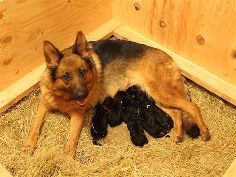 german shepherd puppies washington state helensberg german shepherd kennel breeders vancouver wa