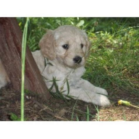 goldendoodle puppies nc rescue minature goldendoodles on kaosfarm goldendoodle breeder in reidsville carolina