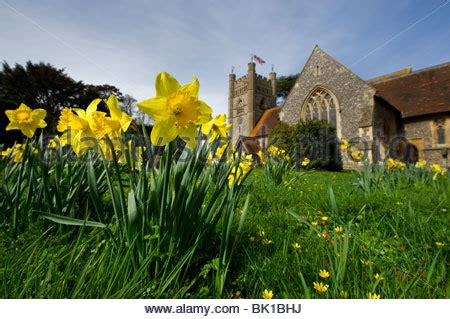 spring daffodils in the churchyard of st peter's church in