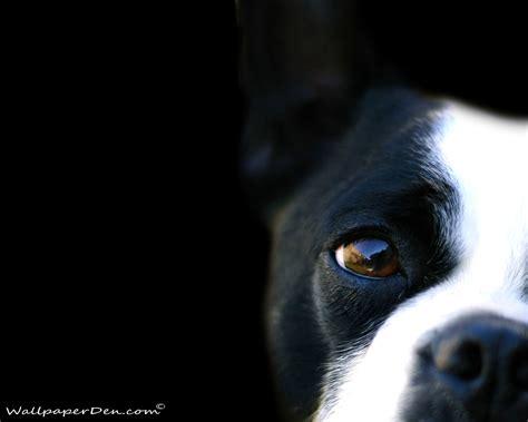 black and white dog wallpaper black and white dog wallpaper wallpapersafari