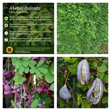 edible climbing plants akebia quinata chocolate vine is an edible evergreen
