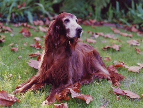 old setter dog thepaintedbench tumblr com