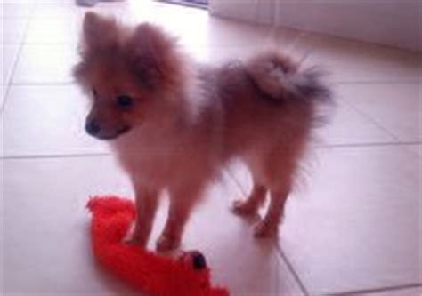 pomeranian puppy stages pomeranian stuff on