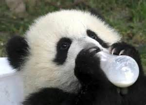 Grow up big and strongbaby pandas seem to love milk underdeveloped