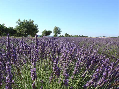 Lavendelfelder Provence by File Lavendelfeld In Der Provence Jpg Wikimedia Commons
