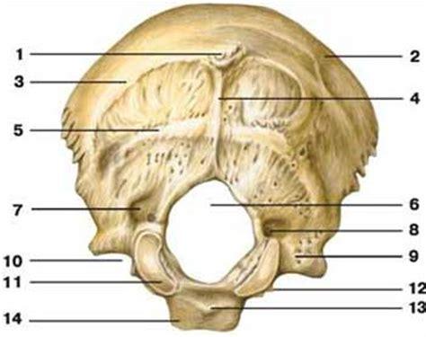 translucenza nucale interna o esterna ossa cranio osso occipitale sfenoide temporale