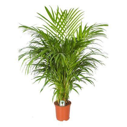areca palm butterfly palm cm house plants indoor