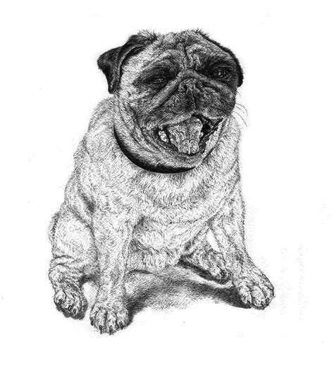 pug line drawing vinnie line pen drawing of a lil pug ap concentration pug